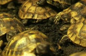 Plus de 300 tortues capturées au Maroc pour être revendues en Belgique