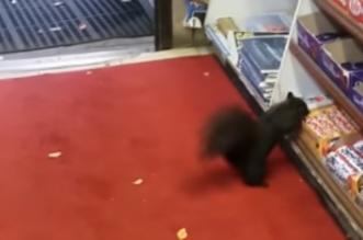 VIDEO – quand un écureuil vole une friandise dans une épicerie !