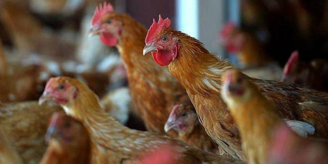 Le Maroc importera de la volaille américaine