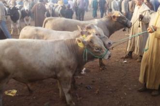 Condamnations après l'exportation de vaches malades au Maroc