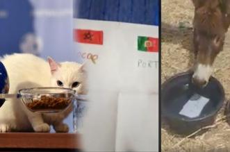 Mondial 2018: Achille, le chat pronostiqueur, inspire les Marocains (VIDEOS)