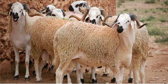 هل المغاربة مضطرون حقا للتضحية بكبش العيد...؟؟