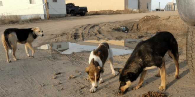 Enfant attaqué par des chiens errants: le ministère se mobilise