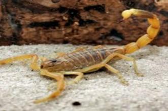 Béni Mellal: un enfant de 3 ans tué par un scorpion
